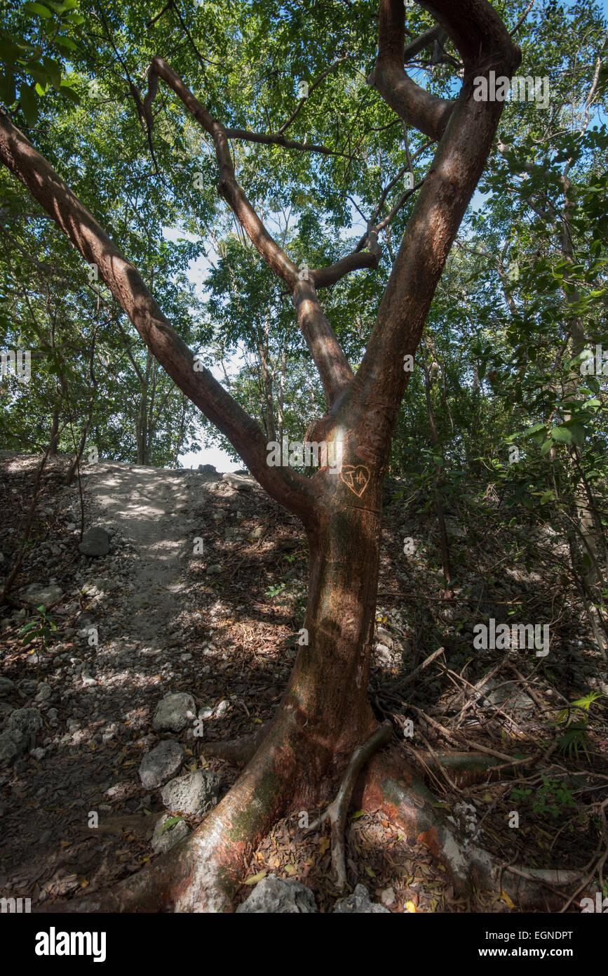 A gumbo limbo tree adorns a hiking path in South Florida. - Stock Image