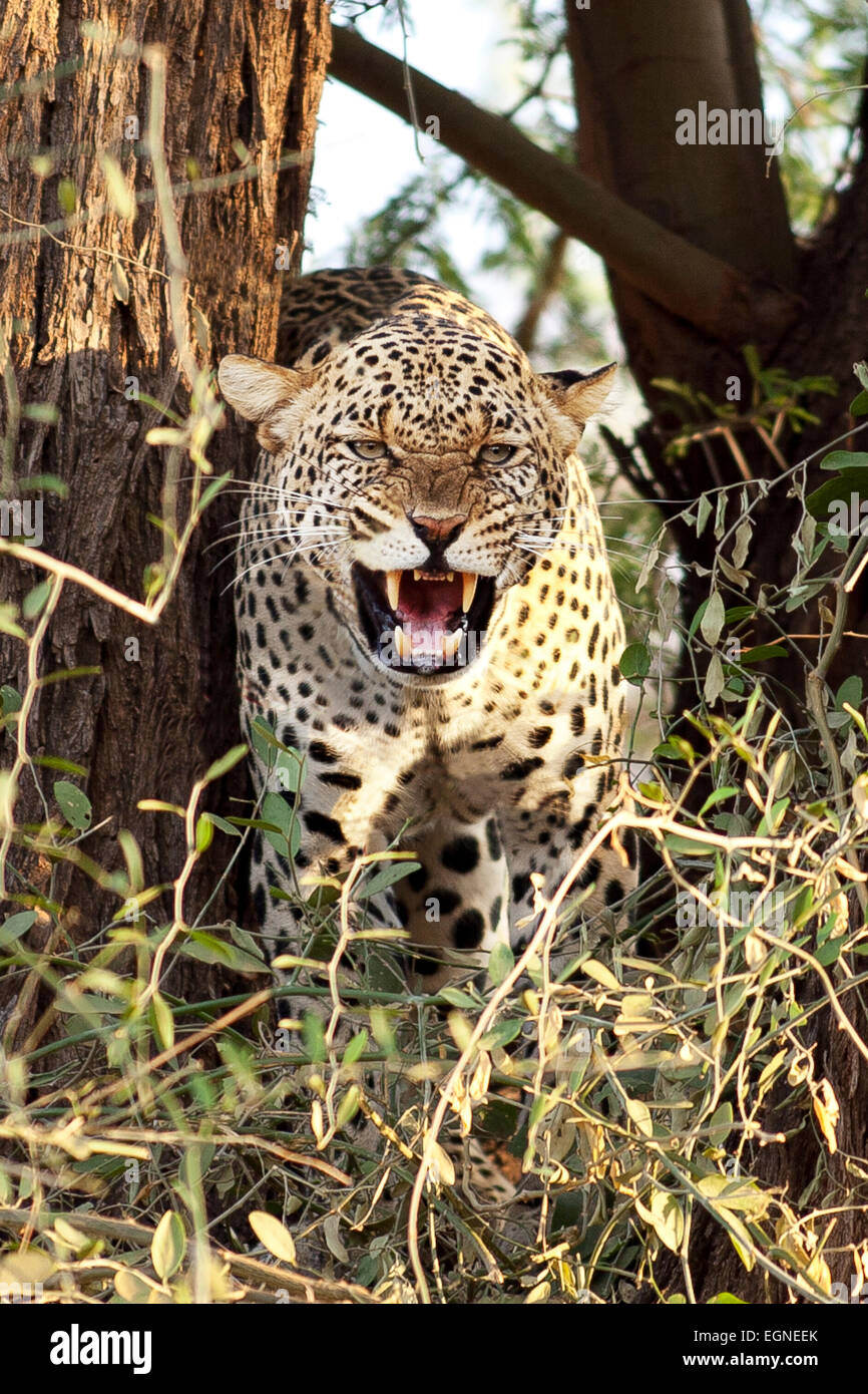 Snarling leopard - Stock Image