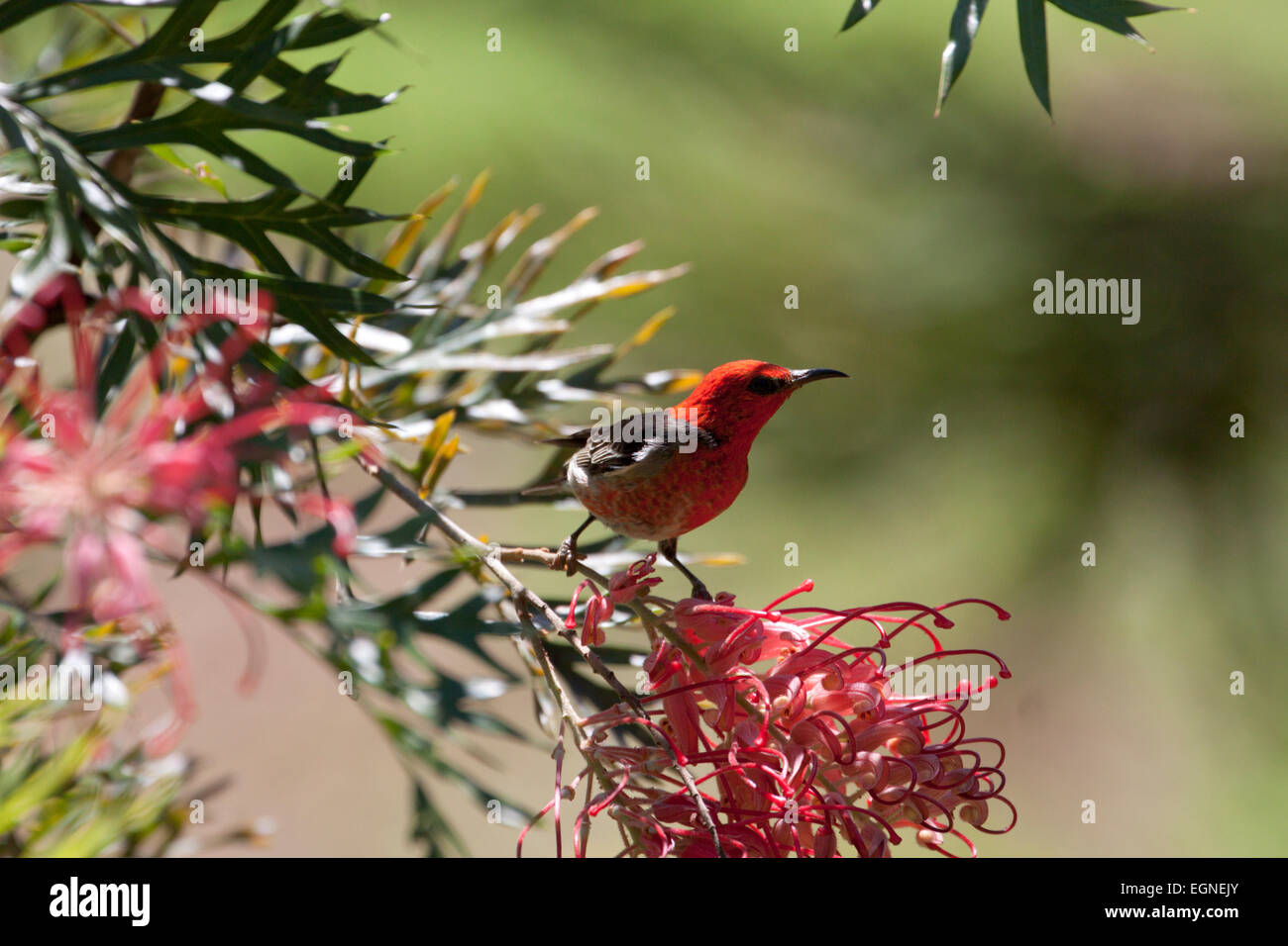 Male Scarlet Honeyeater (Myzomela sanguinolenta), Newrybar, New South Wales, Australia - Stock Image