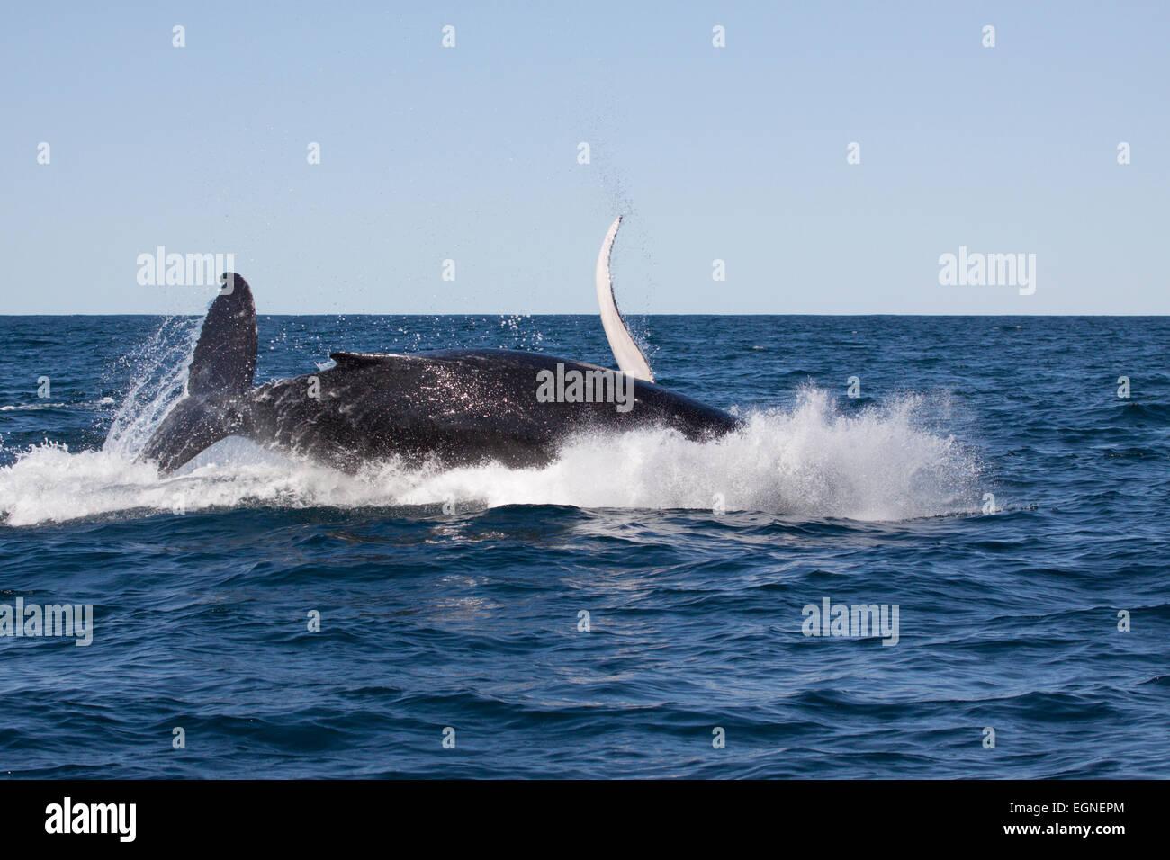 Humpback Whale (Megaptera novaeangliae) in Byron Bay, New South Whales, Australia - Stock Image