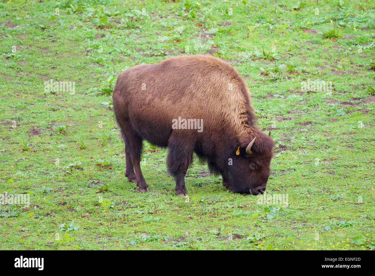 Bison in Golden Gate Park, San Francisco, California Stock Photo