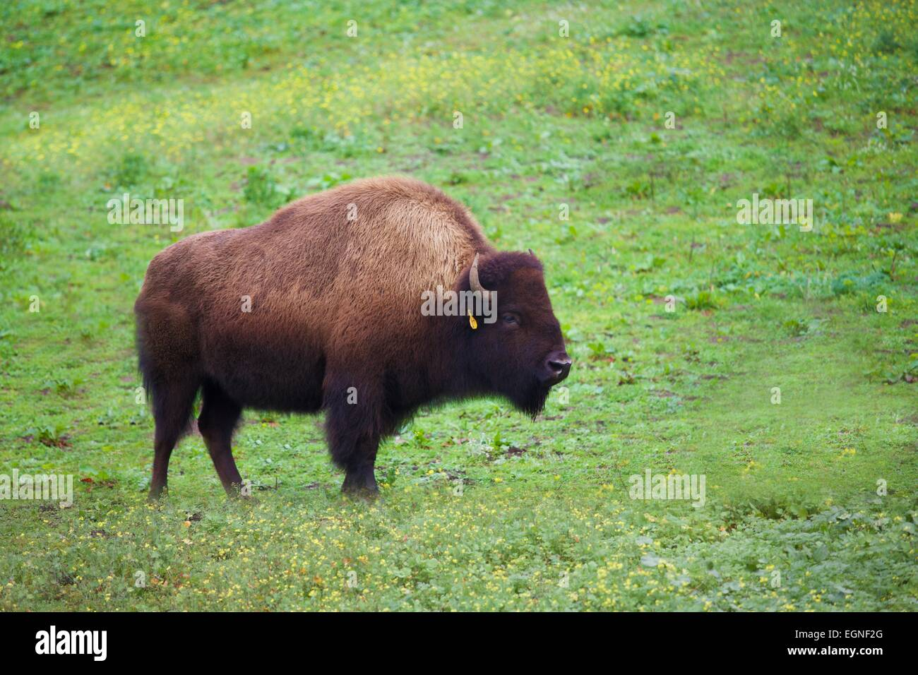 Bison in Golden Gate Park, San Francisco, California - Stock Image