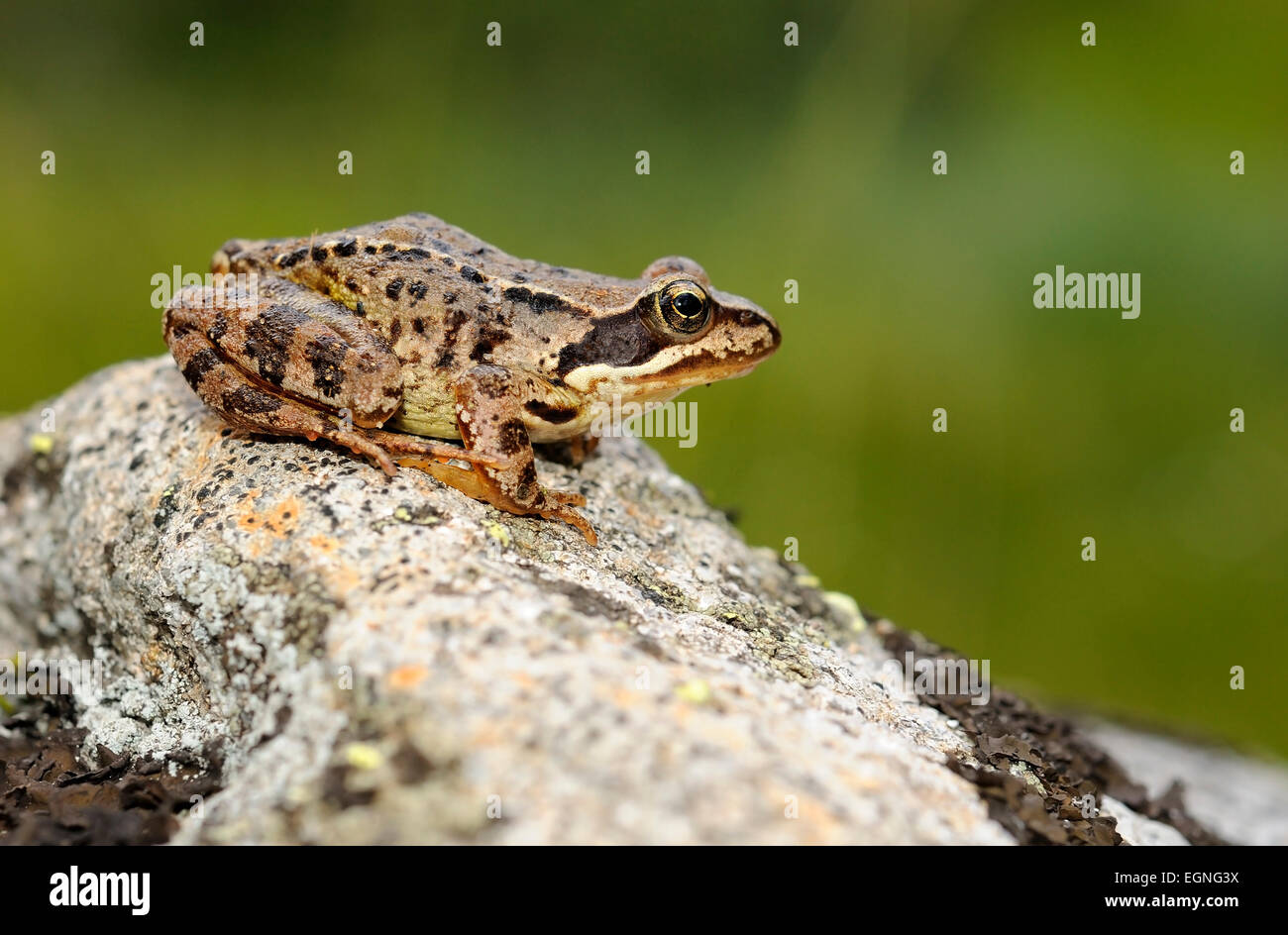Portrait of common frog, Rana temporaria, sitting on rock. Pyrenees. France. - Stock Image