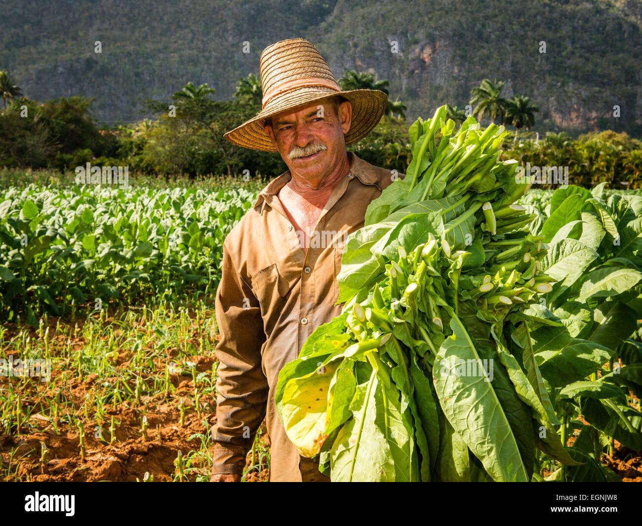 Cuban Tobacco Worker In Field Vinales Cuba