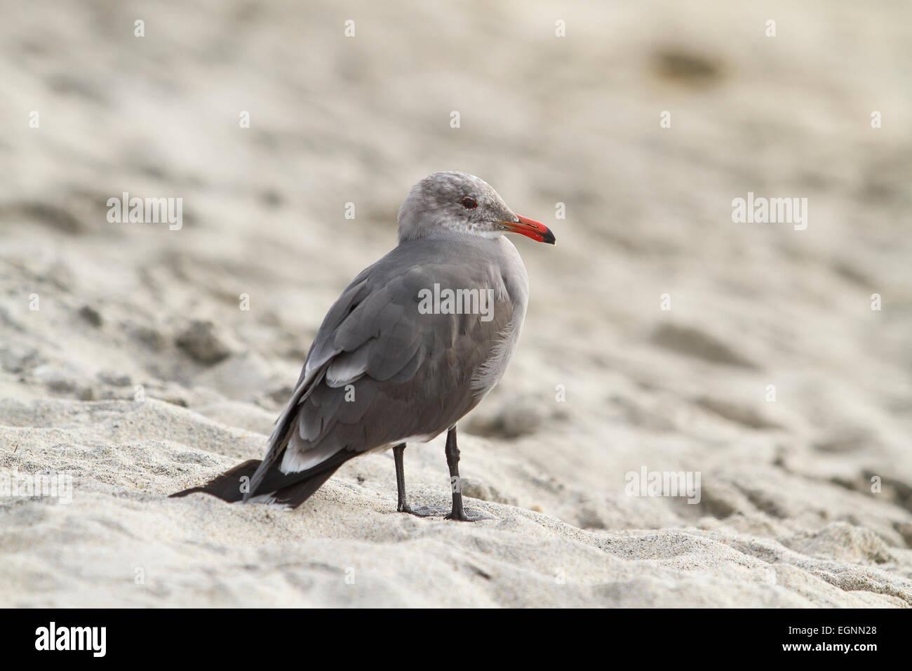 Sea Gull standing on a sandy beach near water. - Stock Image