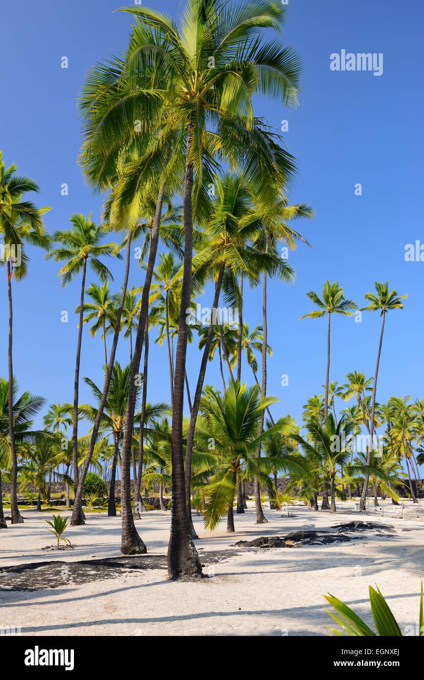 Palm trees - Pu'uhonua O Honaunau National Historical Park, Big Island, Hawaii, USA Stock Photo