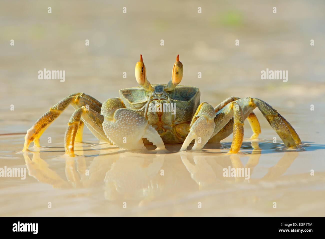 Alert ghost crab on the beach, Zanzibar island, Tanzania - Stock Image