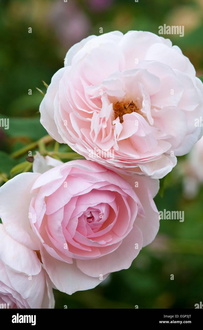 david austin roses planting instructions