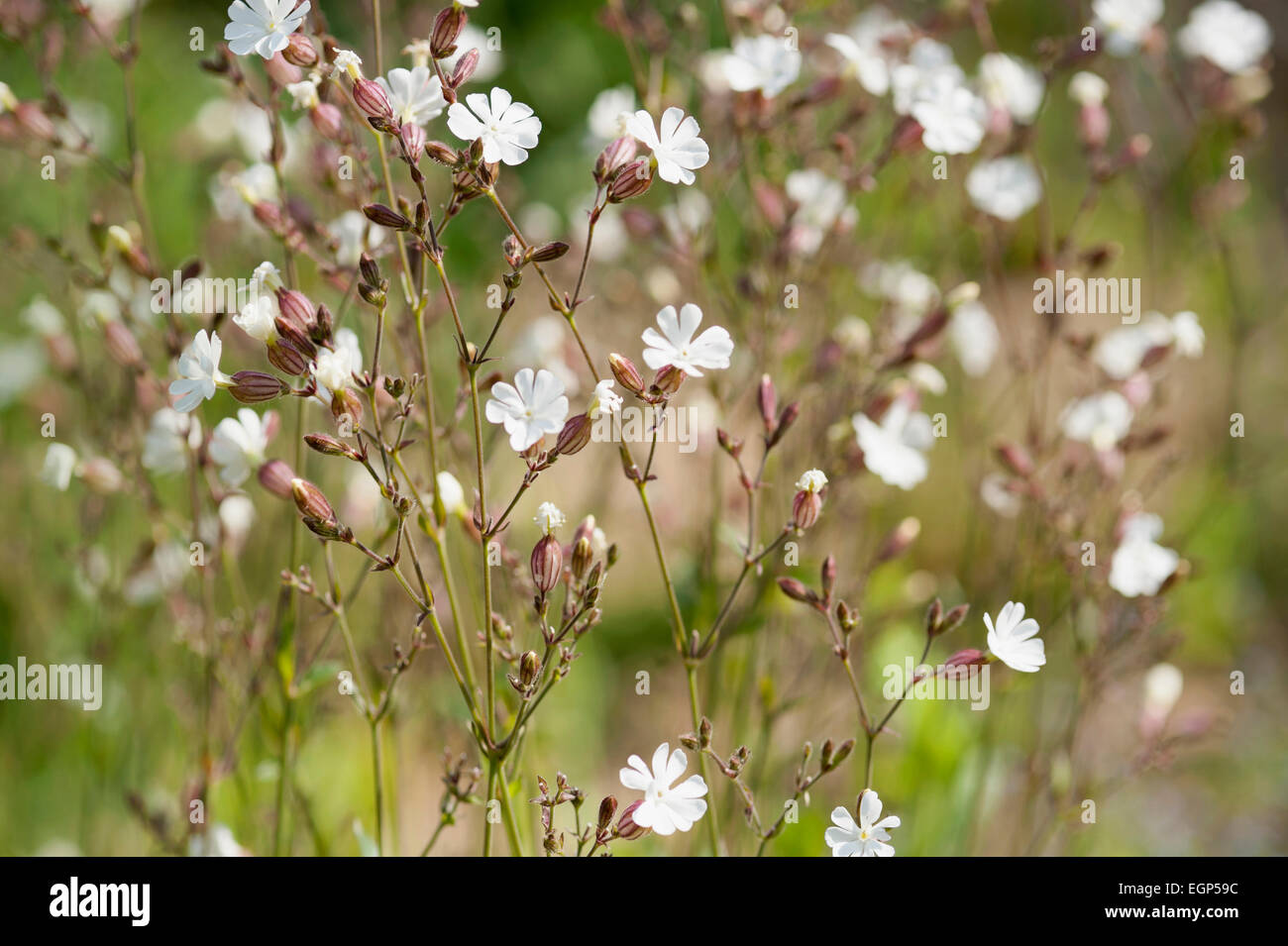 Campion, Lychnis flos-jovis. Side view of many slender stems with white flowers and pink calyxes against green background. - Stock Image