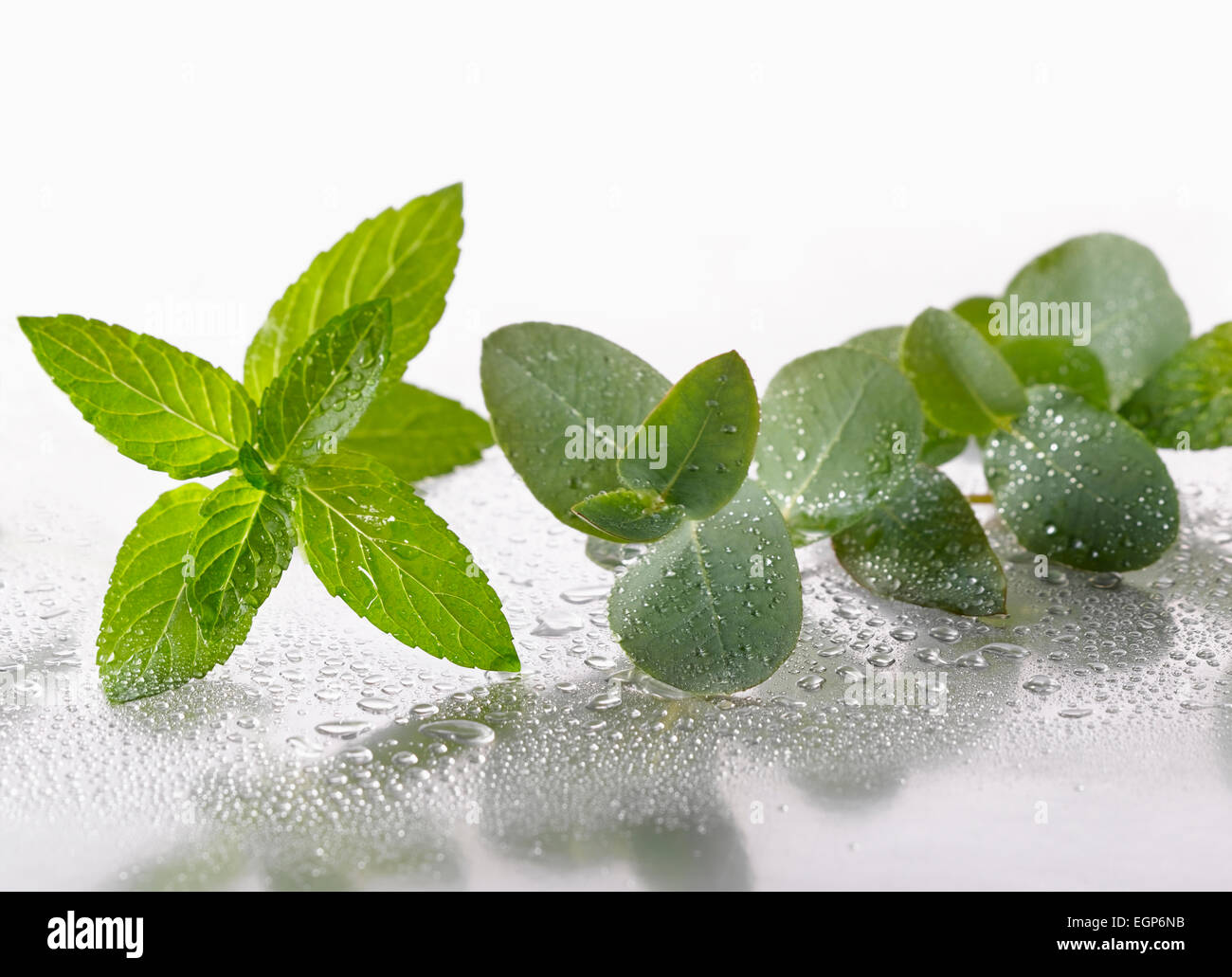 Peppermint, Mentha piperita sprig arranged with Eucalyptus globulus leaves on silver background, and spritzed with - Stock Image
