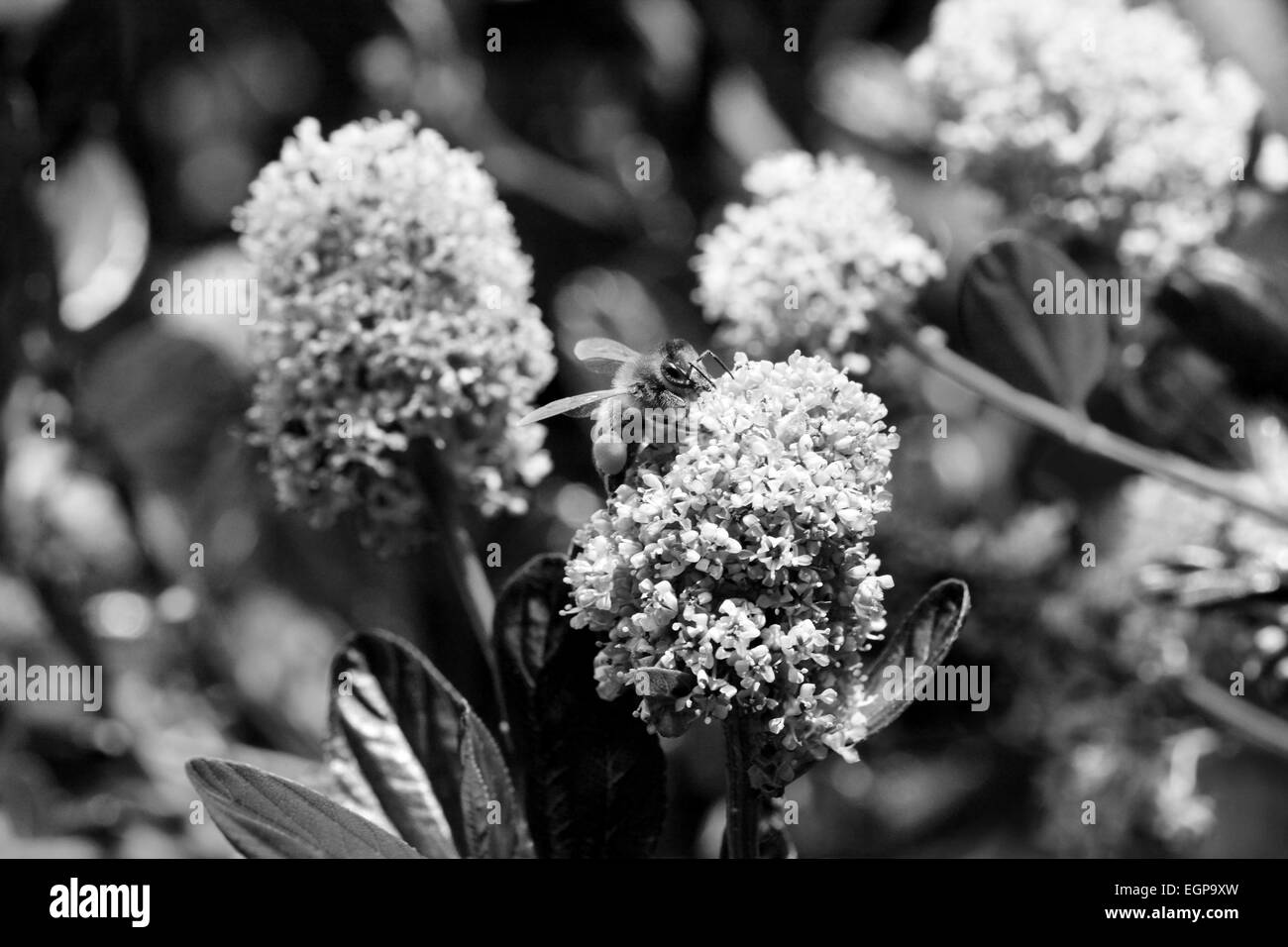 Macro of a honeybee collecting pollen from ceanothus flowers - monochrome processing - Stock Image