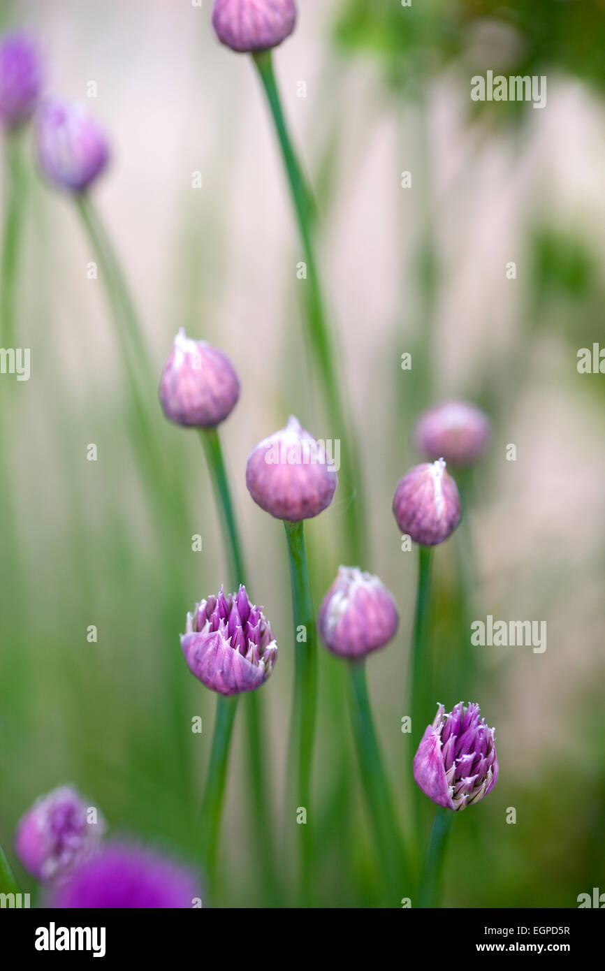 Chive, Allium schoenoprasum, Purple buds and emerging flowers on long green stems.g - Stock Image