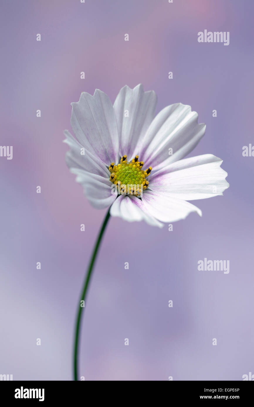Cosmos bipinnatus 'Daydream', Front view of one fully open flower with white petals tinged with pink at - Stock Image