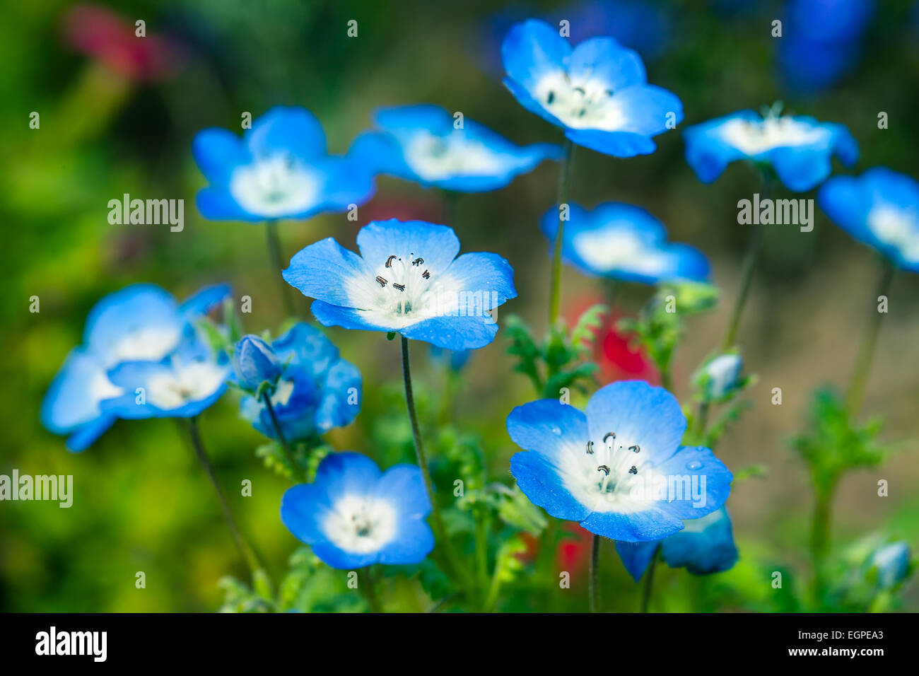 Nemophila Stock Photos & Nemophila Stock Images - Alamy