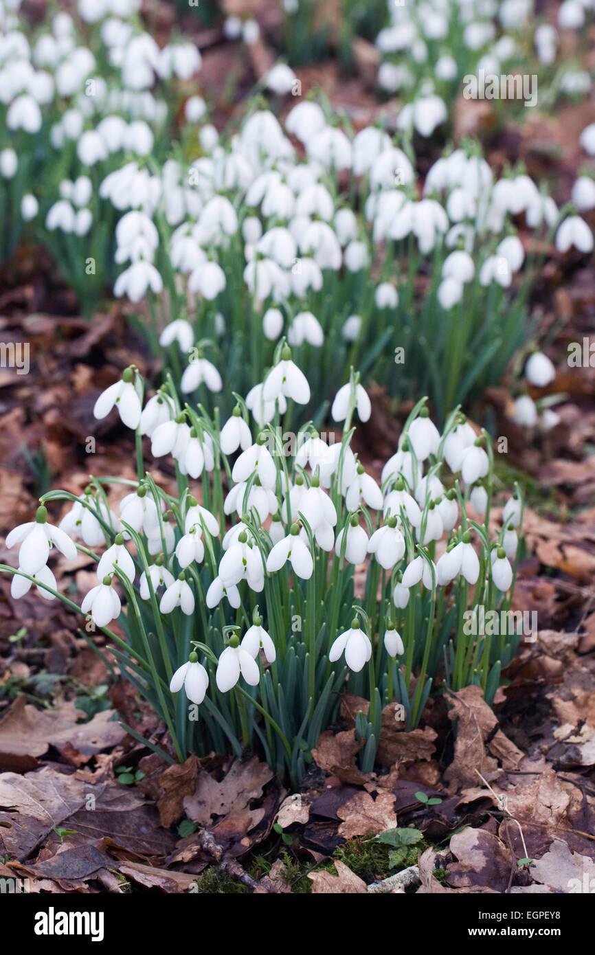 Galanthus S. Arnott. Species snowdrop growing on the edge of a woodland garden. - Stock Image