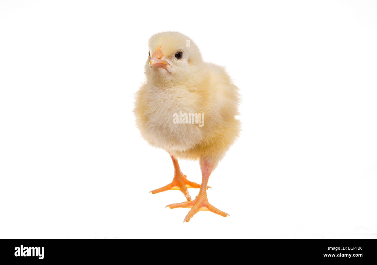 Chick - Stock Image