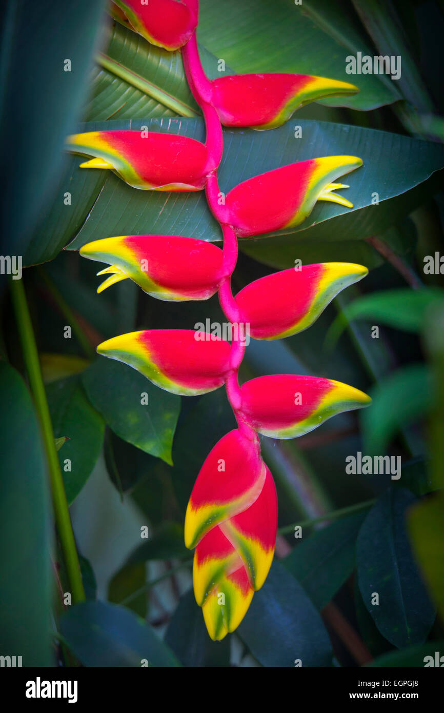 Heliconia rostrata, often known as Lobster claw, Bright red pendula clawlike flowers tipped with yellow and green, - Stock Image