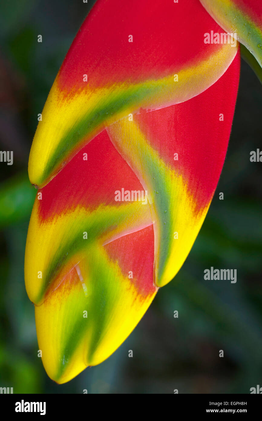 Heliconia rostrata, often known as Lobster claw, Close view of the bright red pendula clawlike flowers tipped with - Stock Image