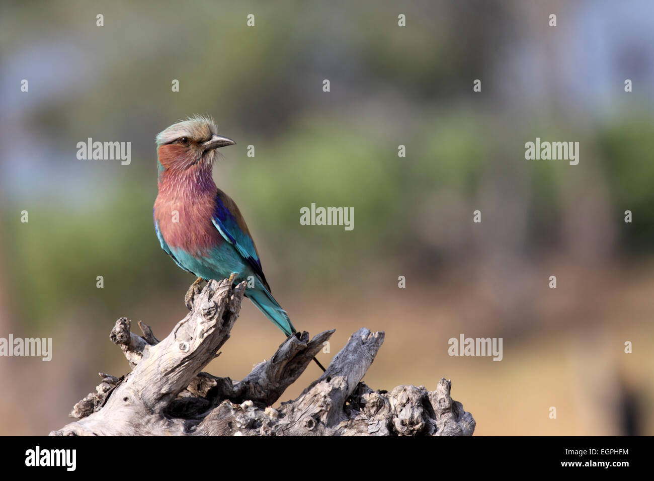 Lilac-breasted roller perched on dead branch in Botswana Stock Photo
