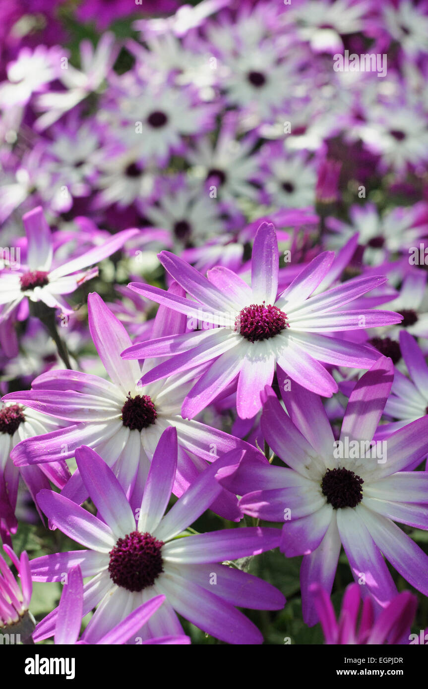 Senetti, Pericallis x hybrida 'Senetti Magenta Bicolor', Close view of 4 white flowers with pink purple - Stock Image