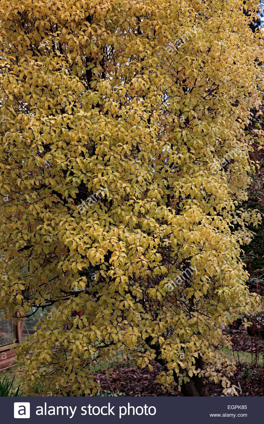 Pittosporum tenuifolium \'Warnham Gold\' AGM at Little Cumbre, Exeter ...