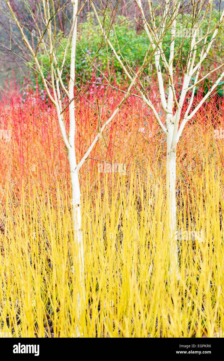 Betula Utilis Var Jacquemontii Birch Stock Photos Betula Utilis