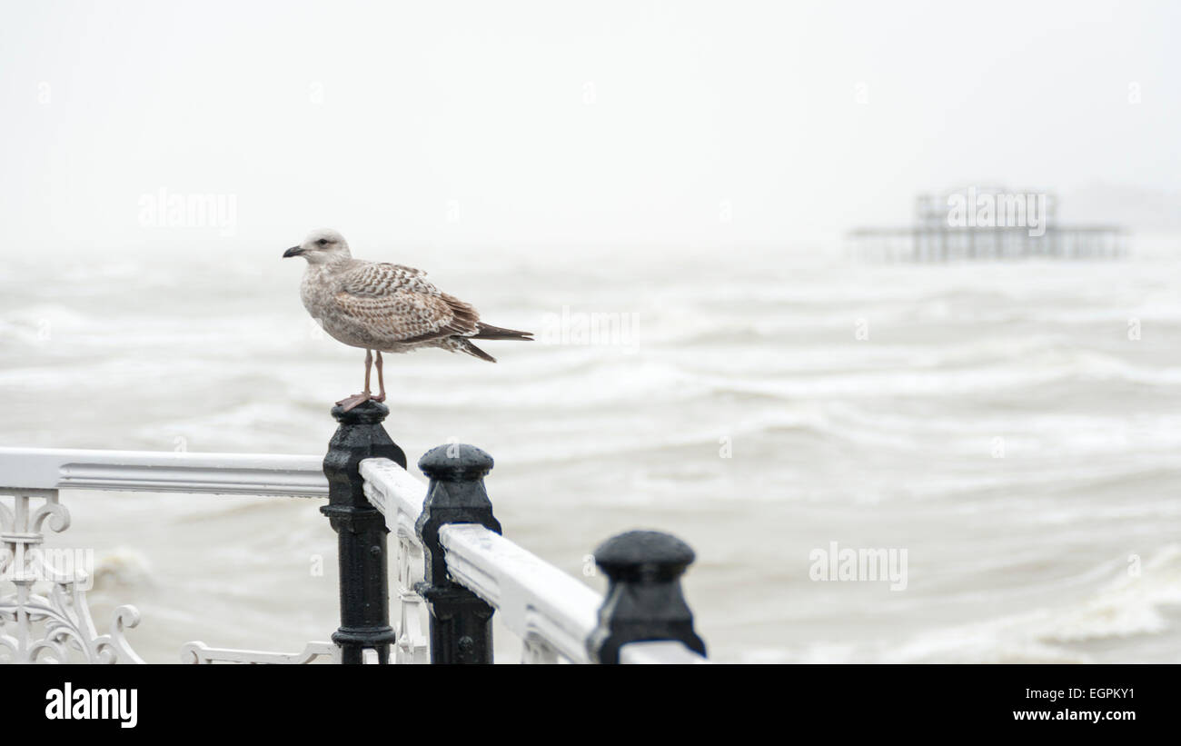 Brighton, Sussex, UK, 28 February 2015.  A seagull enjoys the weather as heavy rain and strong winds batter the - Stock Image