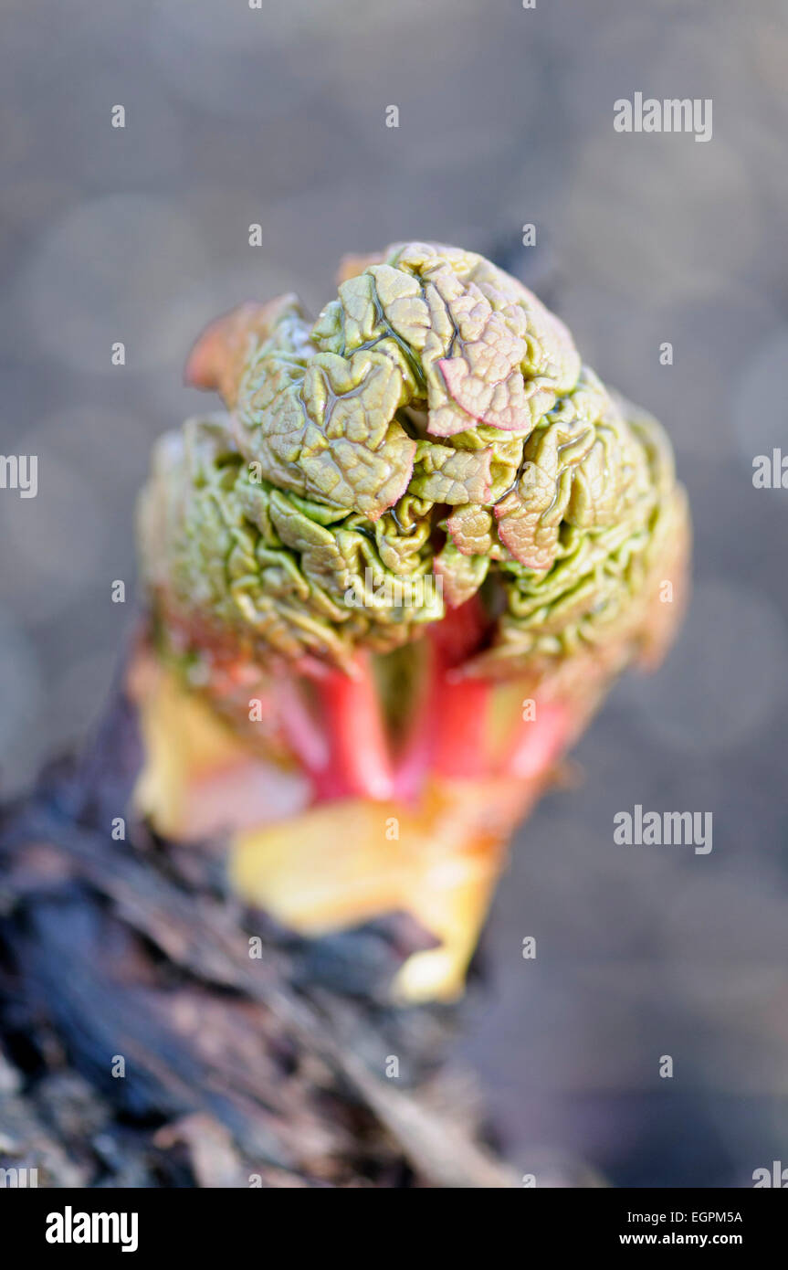 Rhubarb, Rheum rhabarbarum, New grouth emerging from grey surroundungs, with the leaves compressed and looking similar - Stock Image