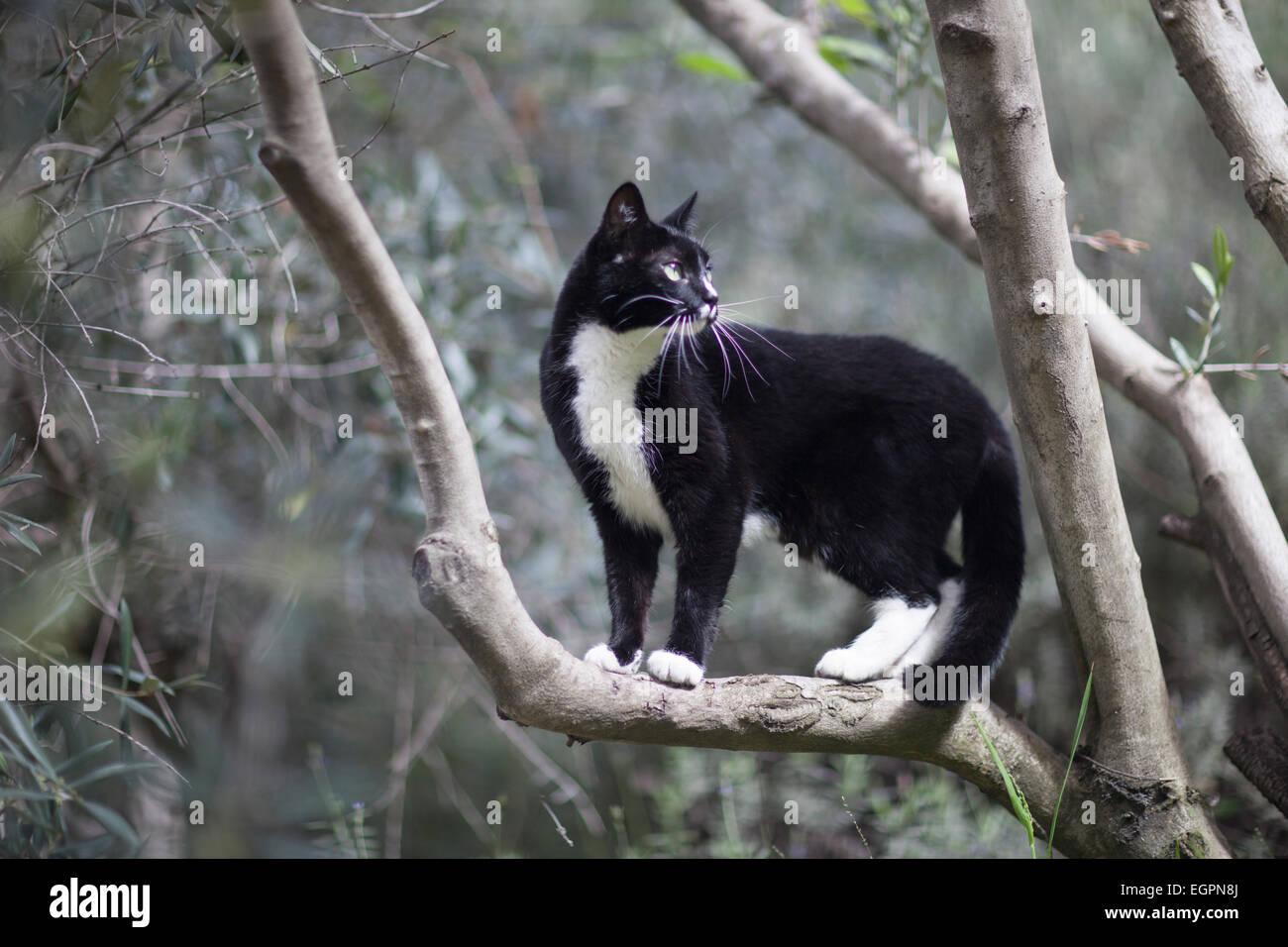 tuxedo pet cat explores yard - Stock Image