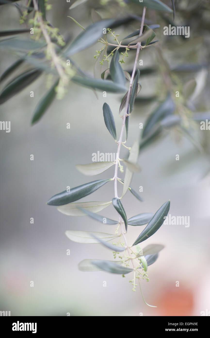 olive branch - Stock Image