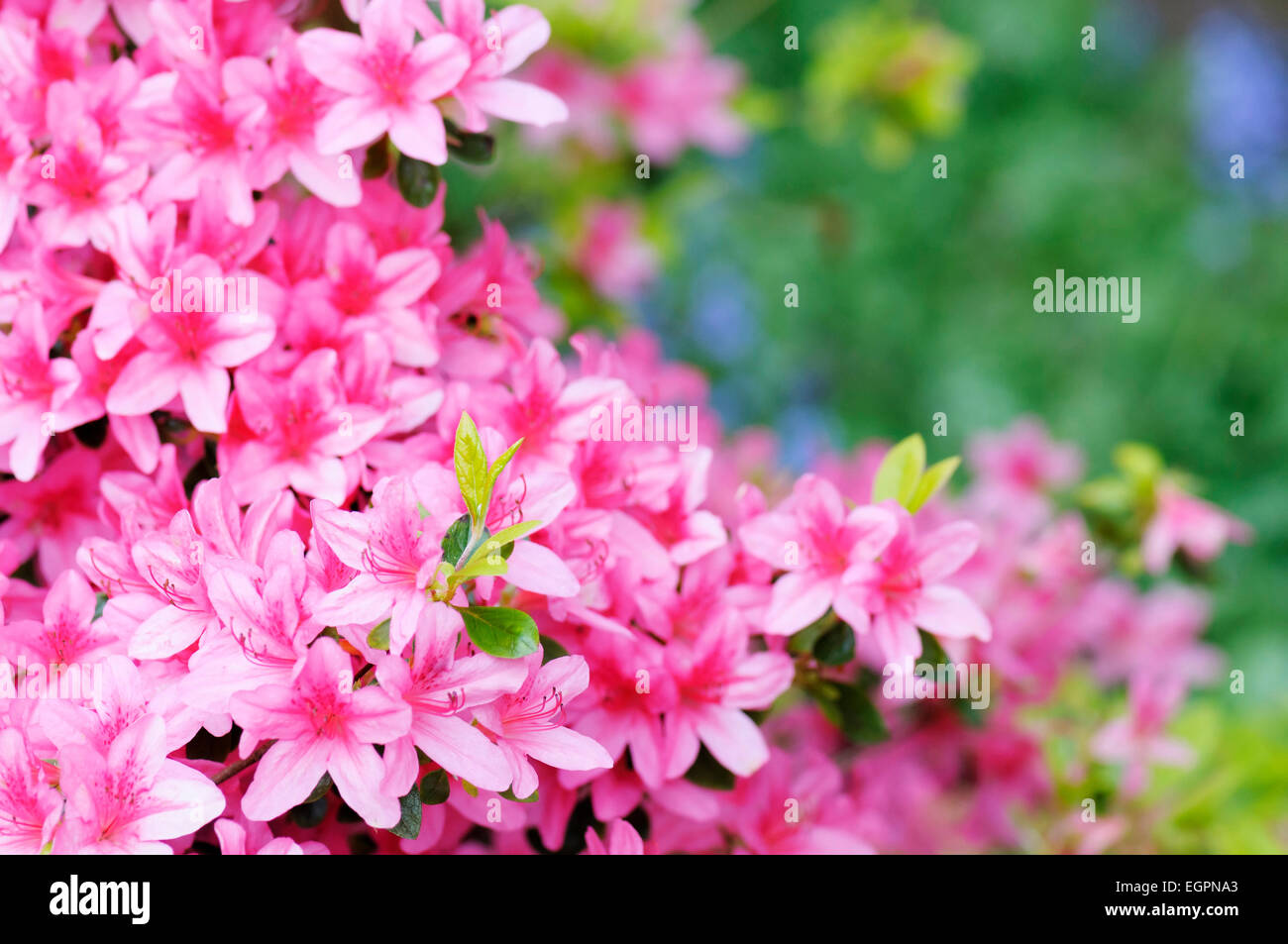 Azalea Rhododendron Pekoe Multiple Pink Flowers On A Bush With