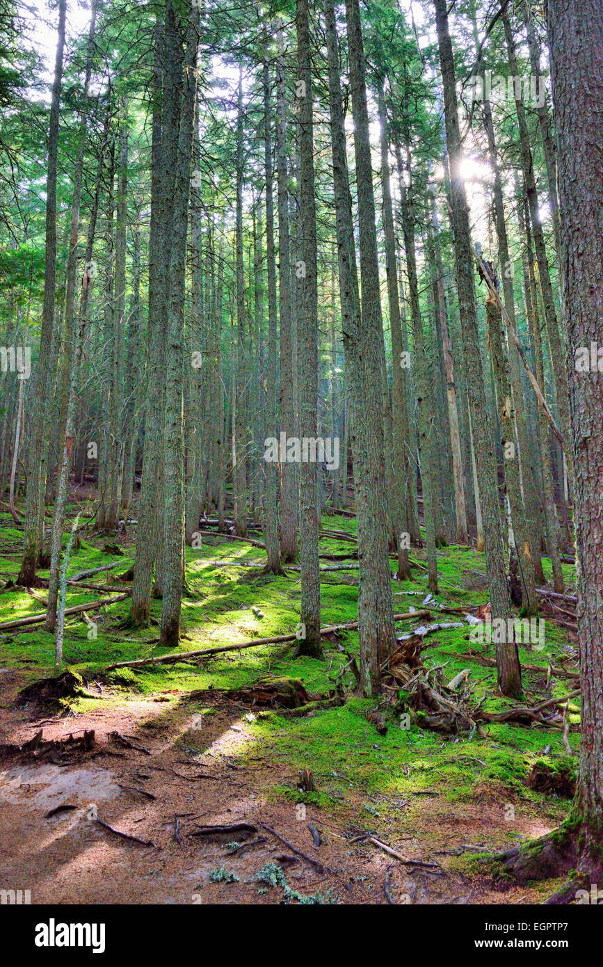 sun shining through the conifer forest on the Avalanche lake trail in Glacier National Park - Stock Image
