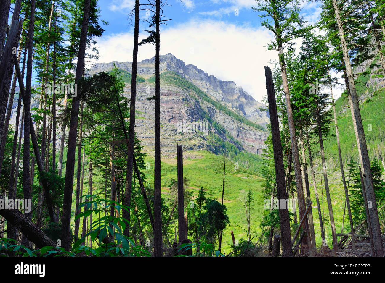 view of the mountains through the conifer trees along the Avalanche lake trail in Glacier National Park - Stock Image