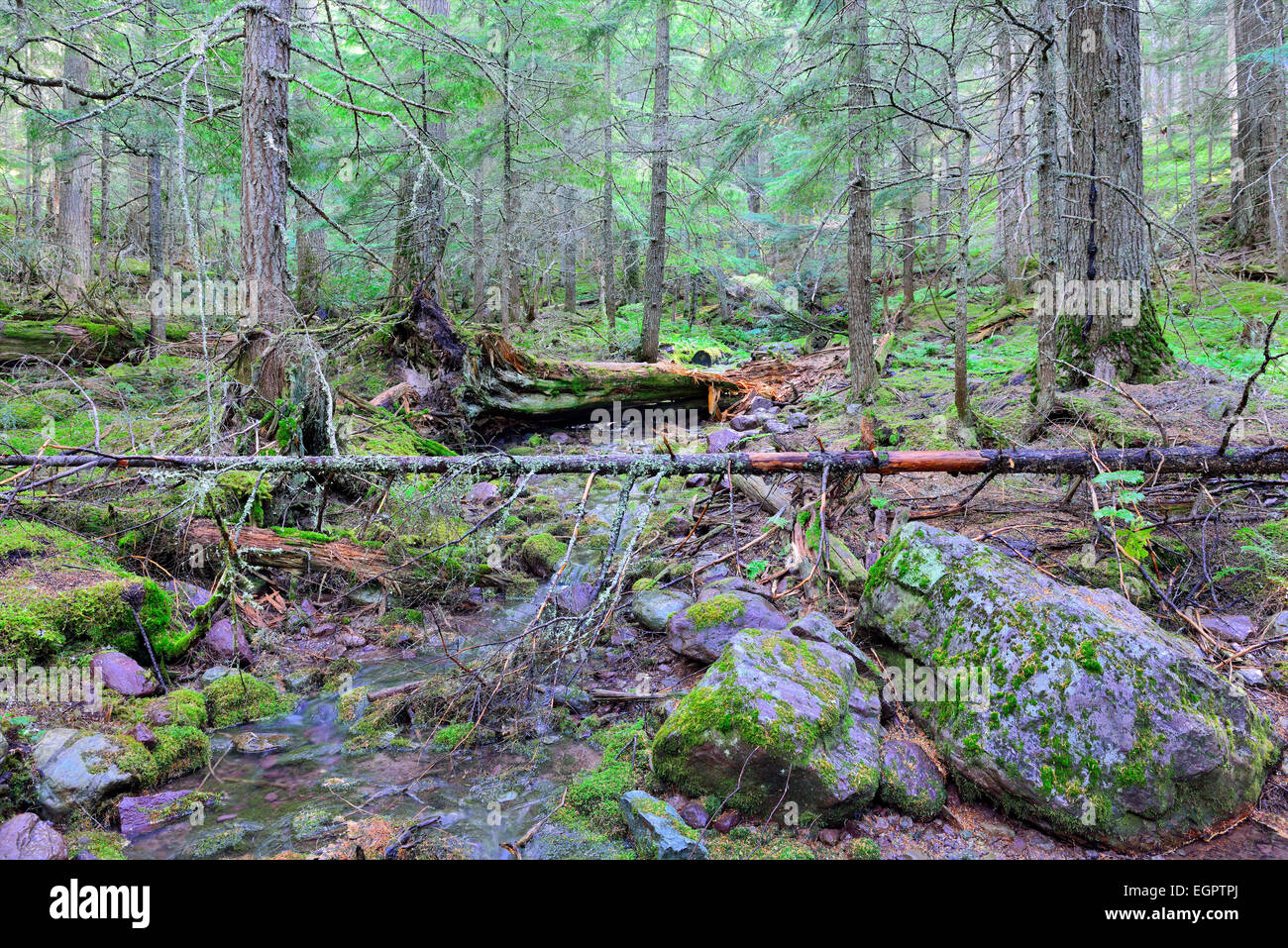 stream in the conifer forest on the Avalanche lake trail in Glacier National Park - Stock Image