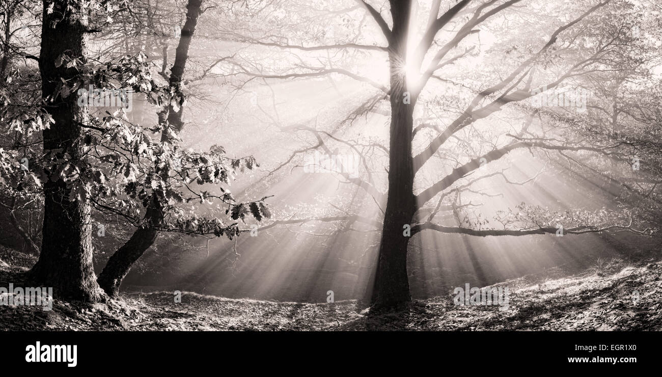 Sunlight shines through this Oak tree on a misty morning in the Brecon Beacons national park, Wales. Stock Photo