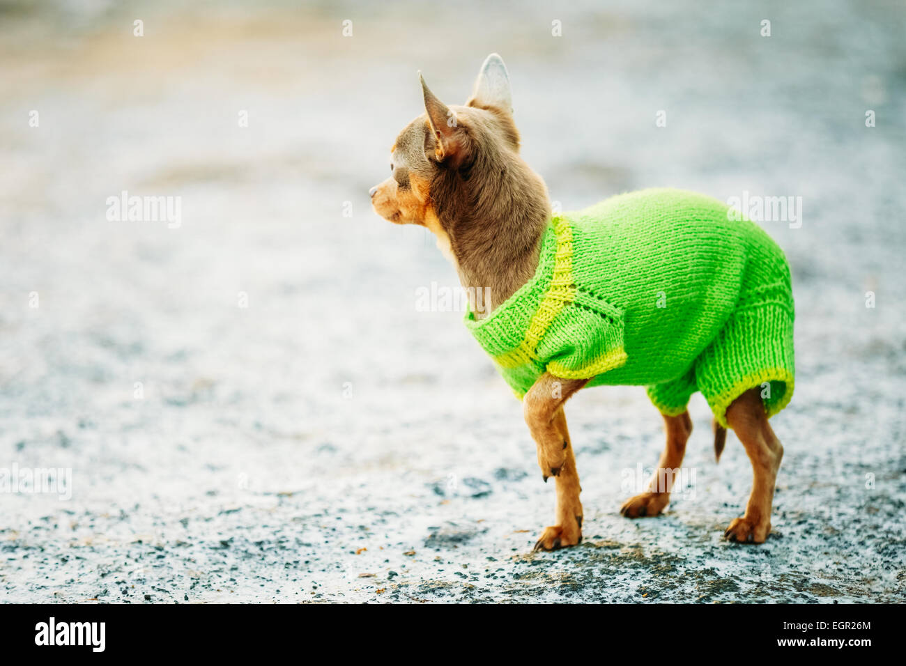 Beautiful Tiny Chihuahua Dog Dressed Up In Outfit, Staying Outdoor In Spring - Stock Image