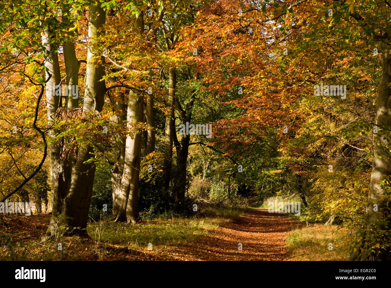 Bucks - Chiltern Hills - beech woods in autumn - leaf covered pathway leading beneath the russet and gold leaves - Stock Image