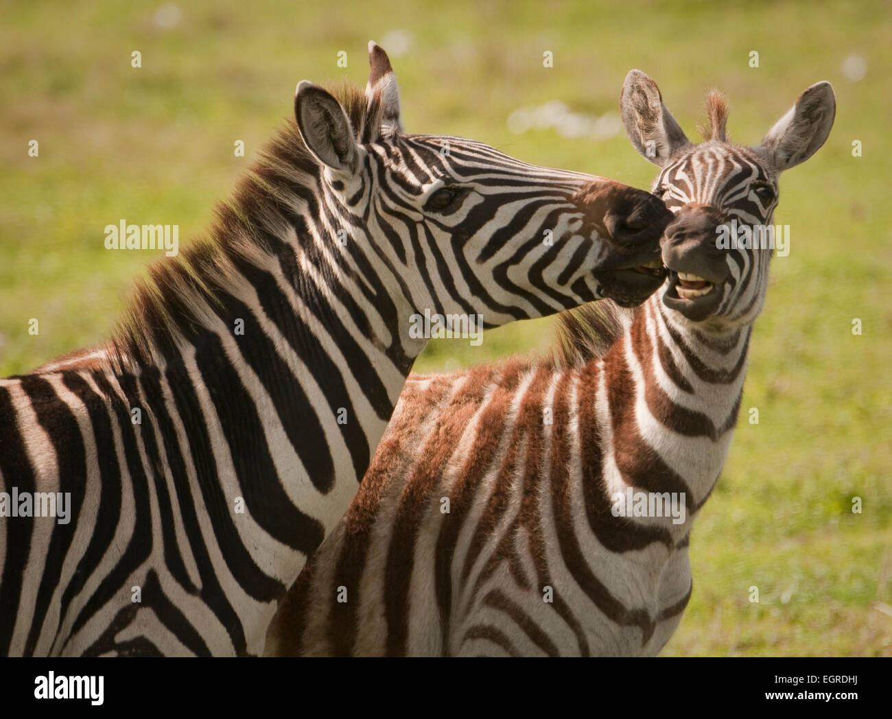 Close up of adult Burchell's zebra touching younger one-showing dominance - Stock Image