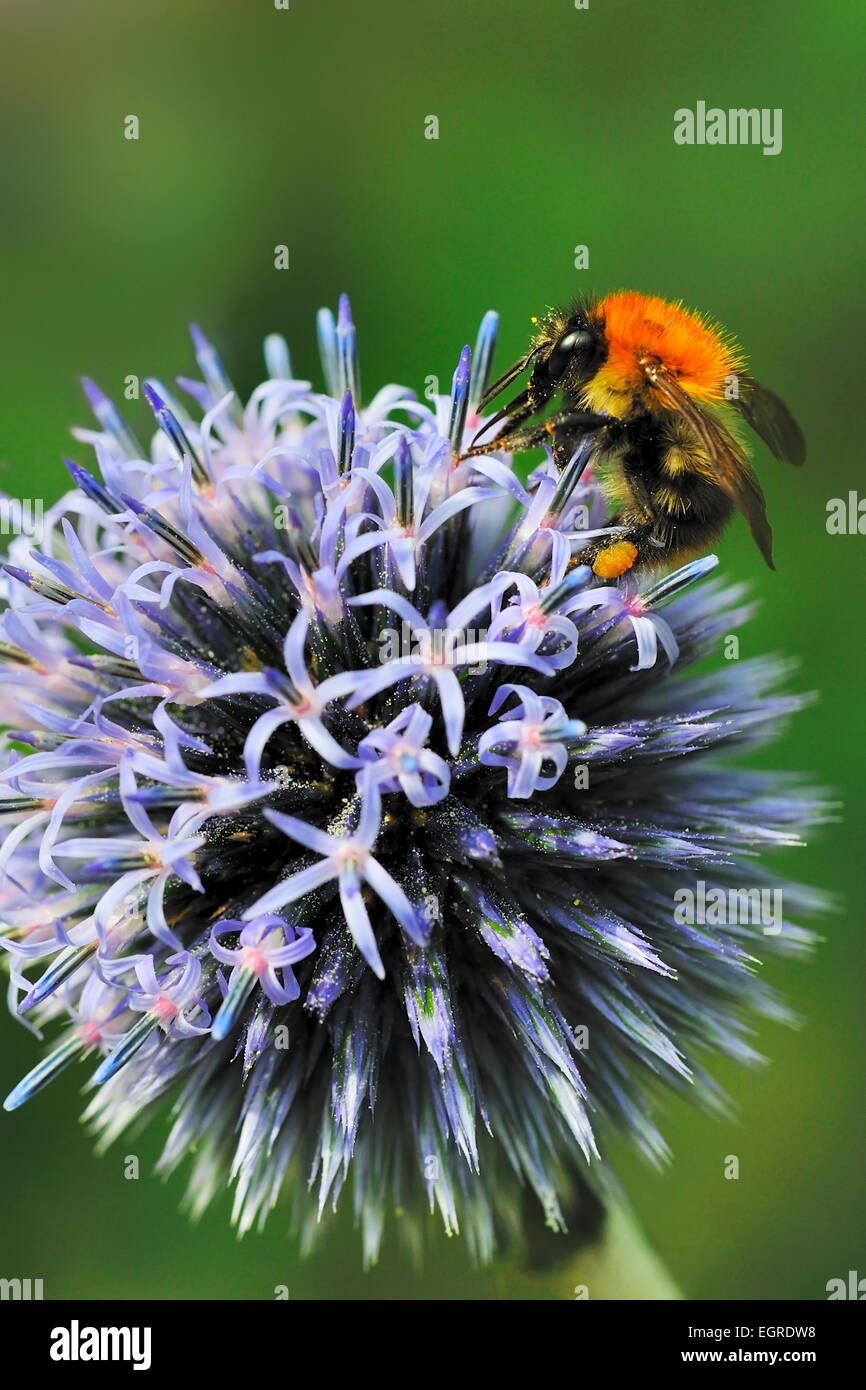 common carder bumble bee bombus pascuorum pollinating globe thistle - Stock Image