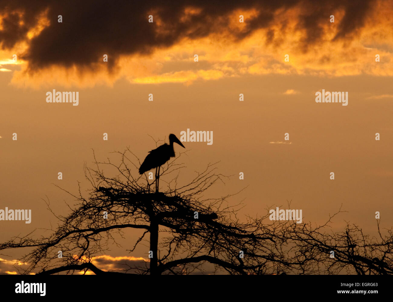 Marabou stork perched on top of tree at sunset Stock Photo