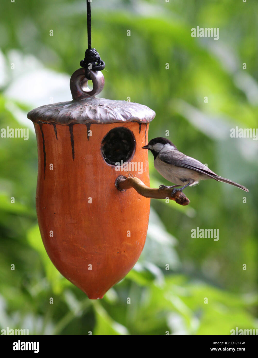 Carolina chickadee on ceramic birdhouse Ohio - Stock Image
