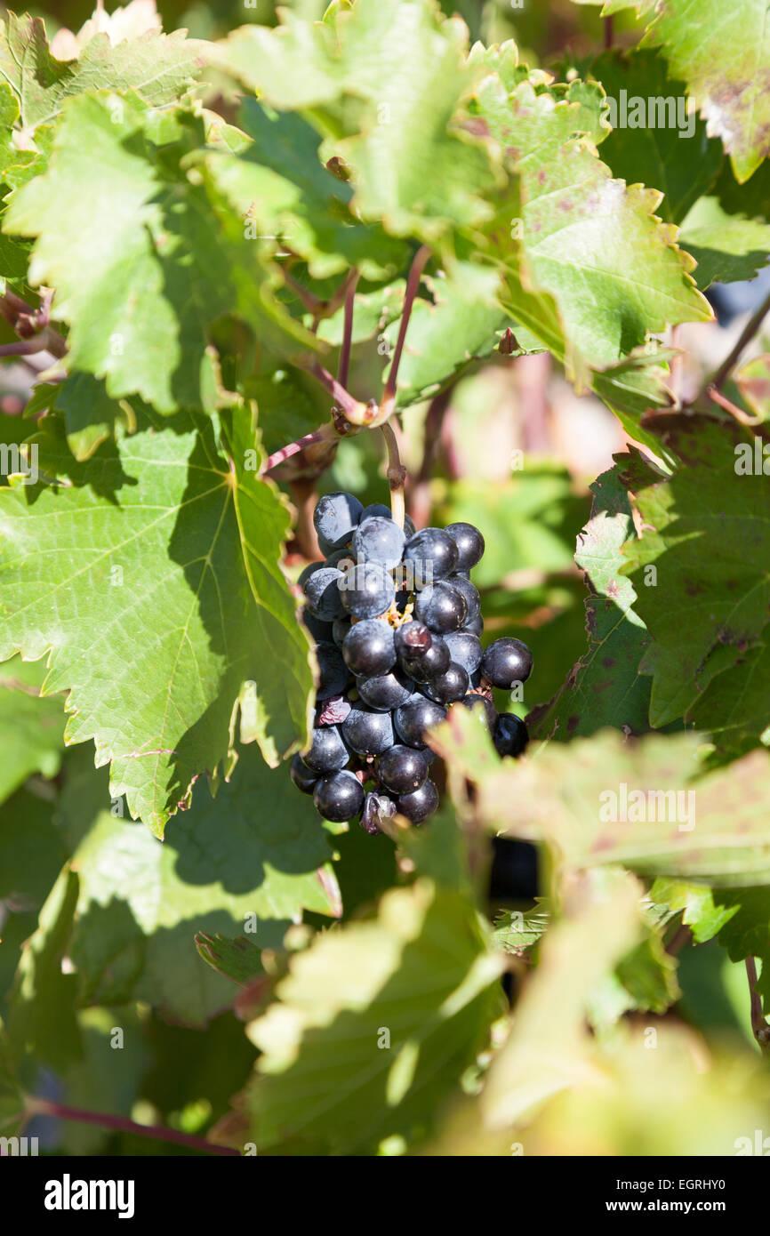 Grapes : Mencia. Bierzo. - Stock Image