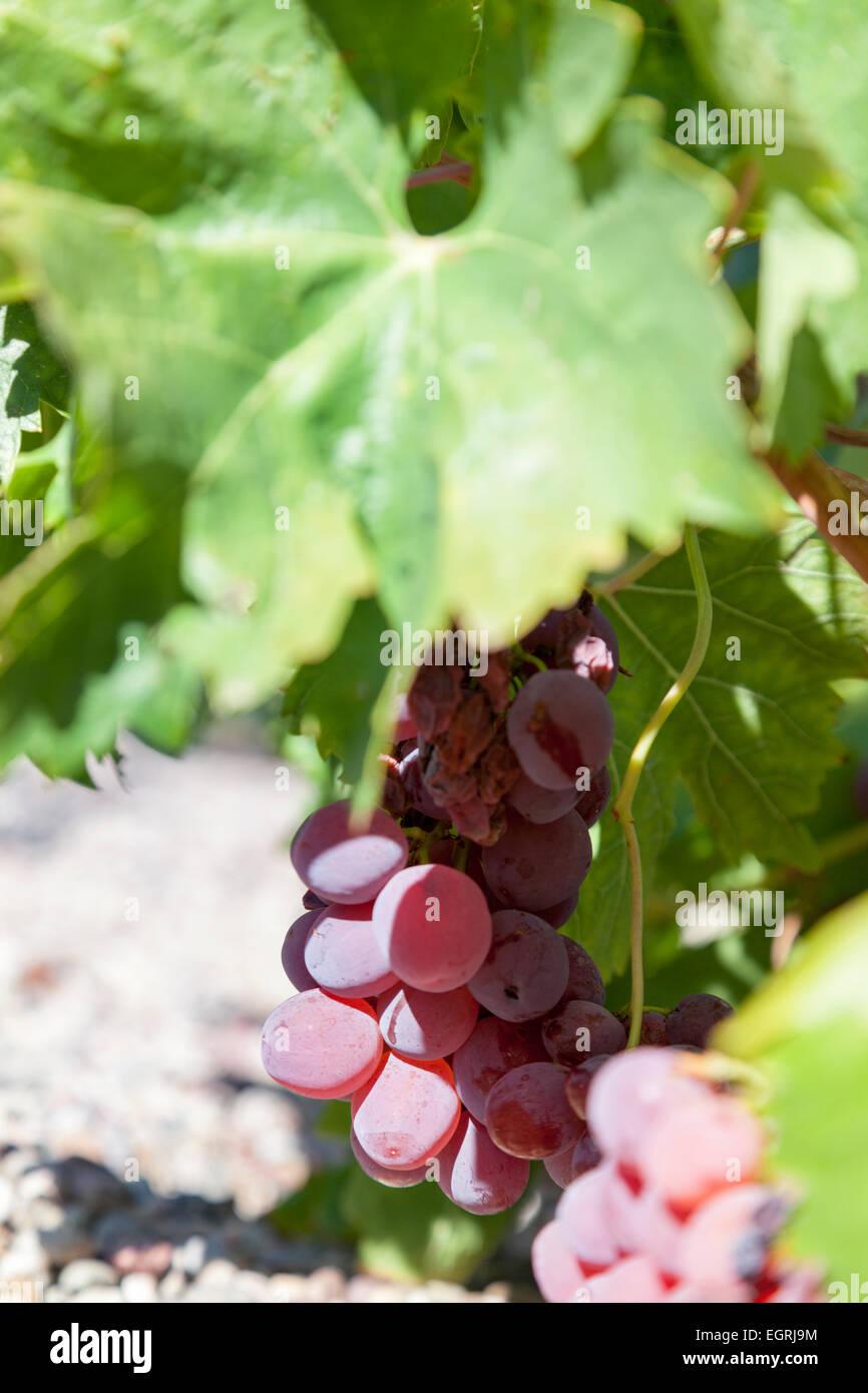 Grapes : Teta De Vaca. - Stock Image