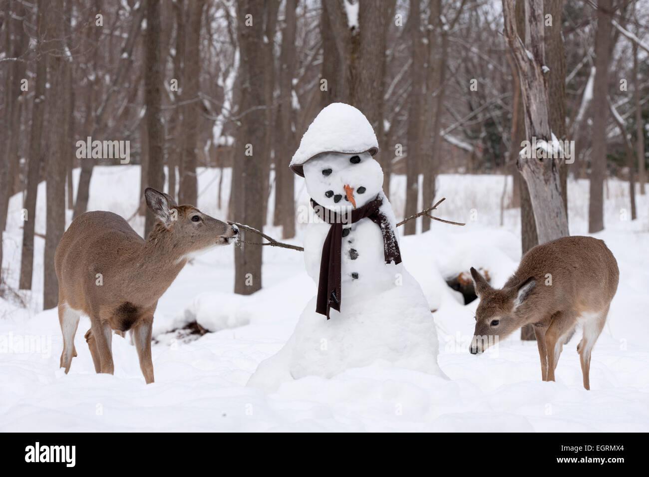 White-tailed deer (Odocoileus virginianus), investigating snowman, New York - Stock Image