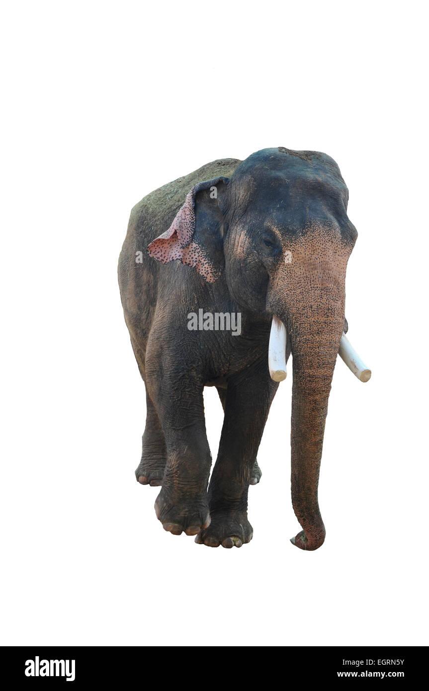asian elephant on a white background stock photo 79197495