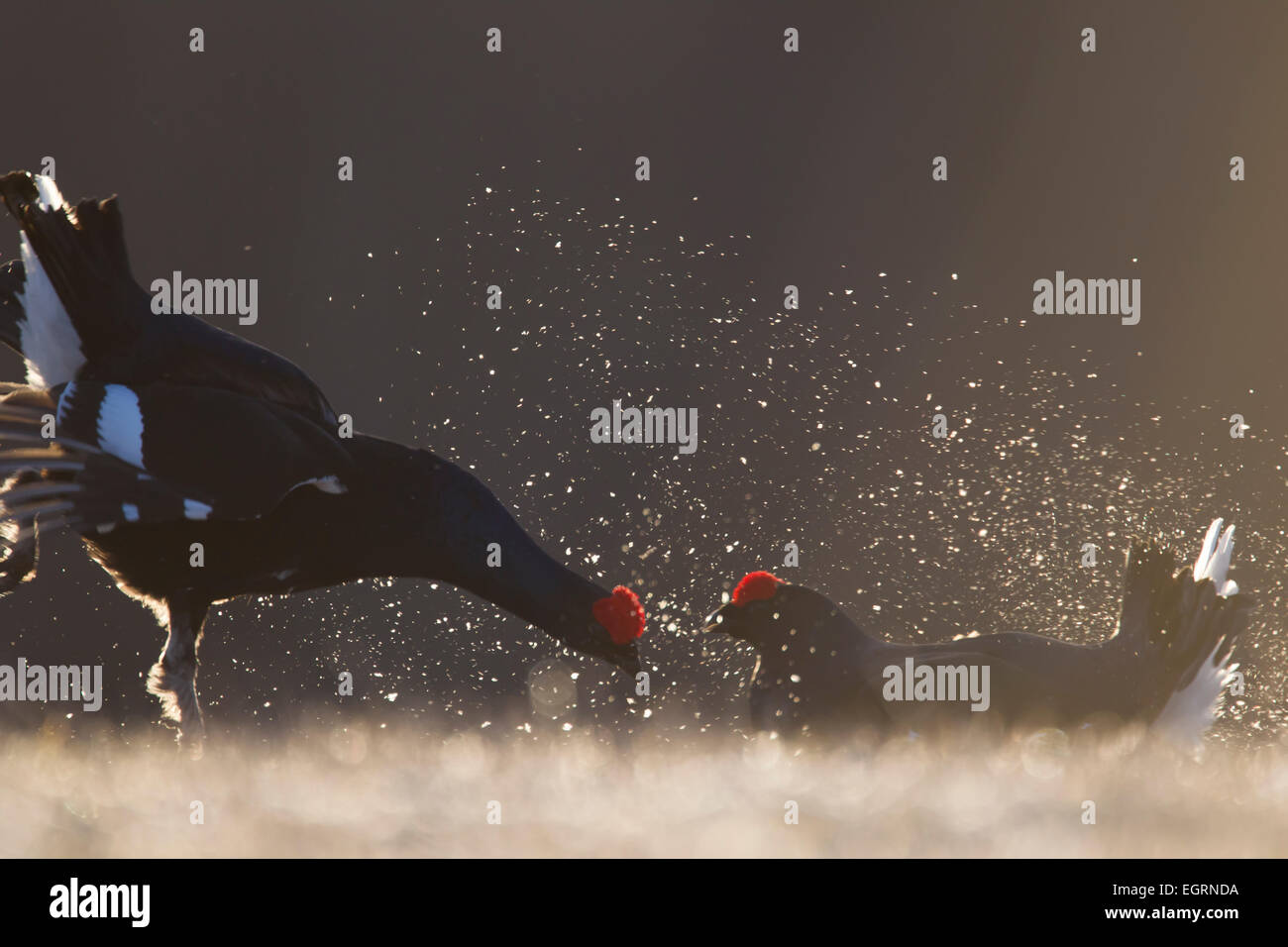 Black Grouse Lyrurus tetrix males fighting at lek site in Kuusamo, Finland in April. - Stock Image