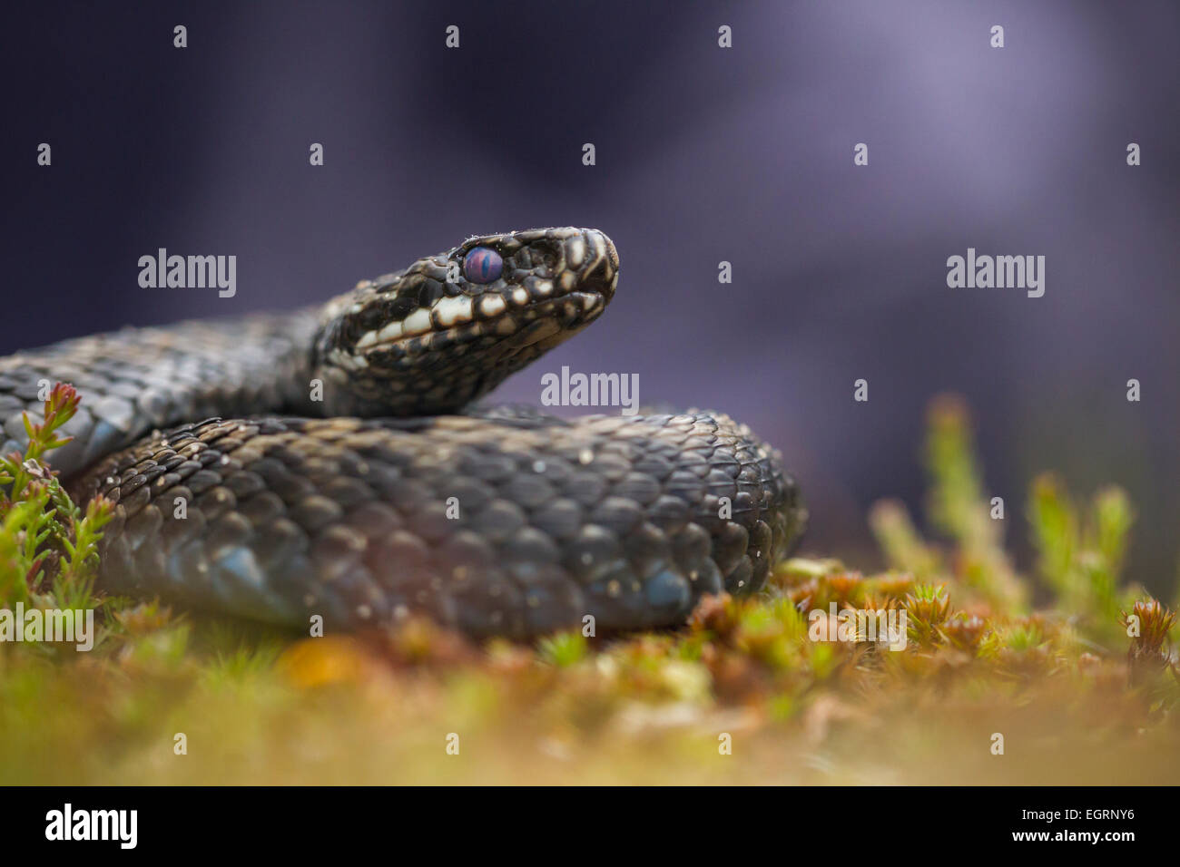 Common adder Vipera berus (controlled conditions), adult male, coiled amongst heathland vegetation, Arne, Dorset, Stock Photo