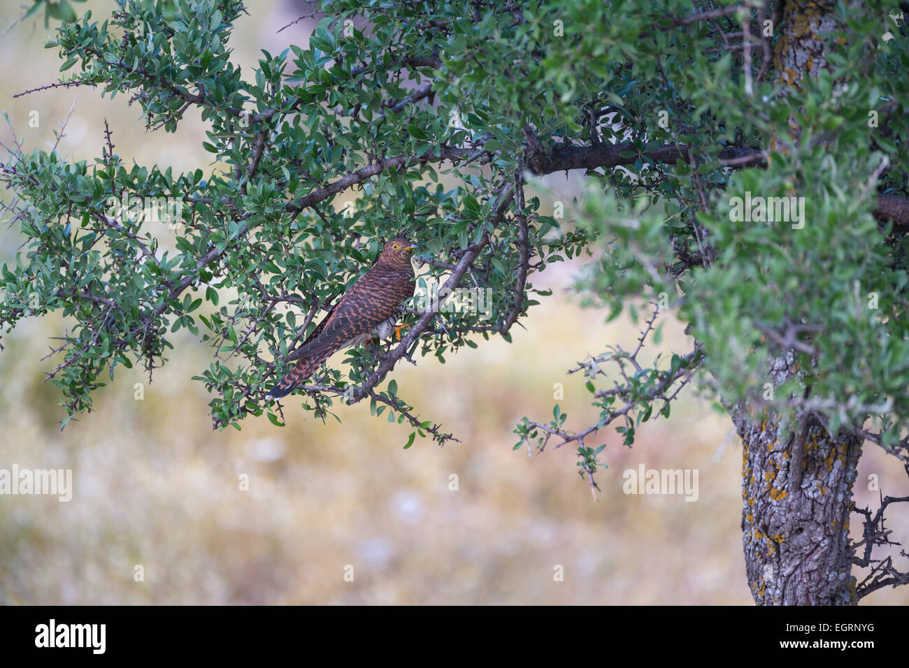 Common Cuckoo Cuculus canorus, female, perched in tree, Napi Valley, Lesvos in April. - Stock Image