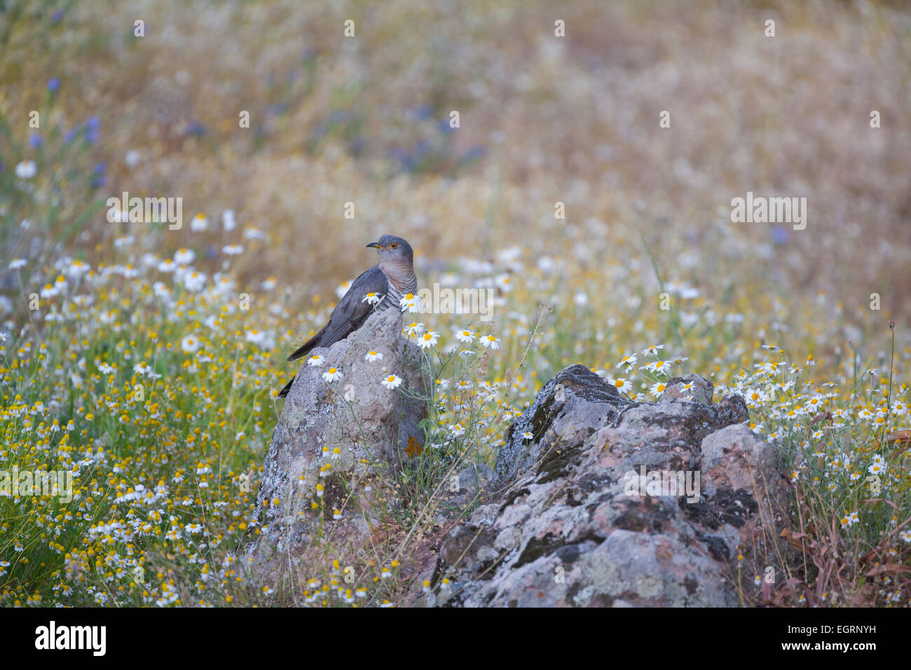 Common Cuckoo Cuculus canorus, male perched on rocks in meadow, Napi Valley, Lesvos in April. - Stock Image