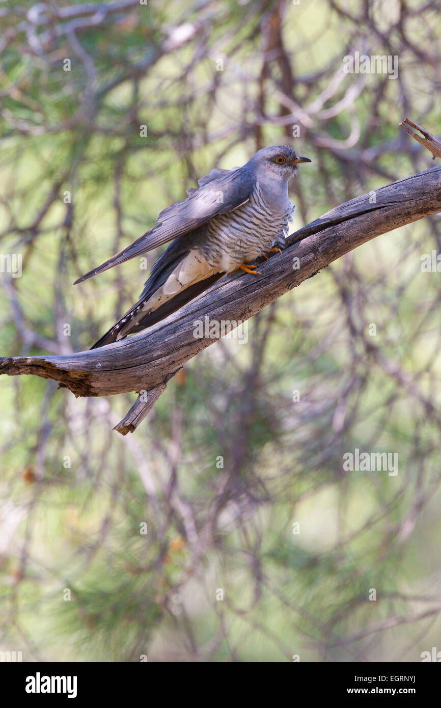 Common Cuckoo Cuculus canorus, male, perched in tree, Achladeri, Lesvos in April. - Stock Image